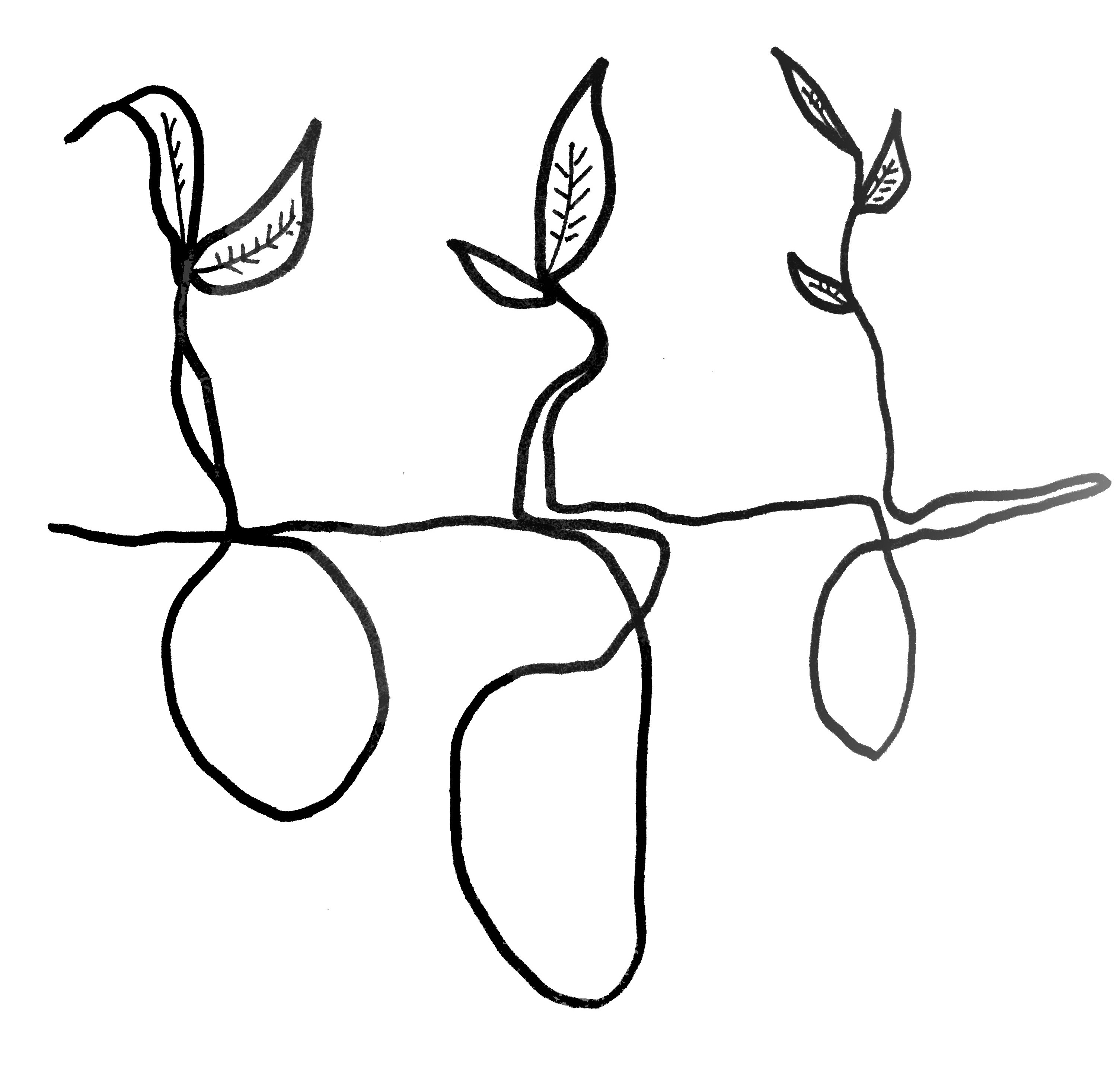 Line drawing of three young sweet potato plants in soil