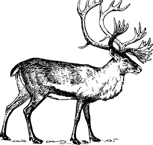 Caribou illustration