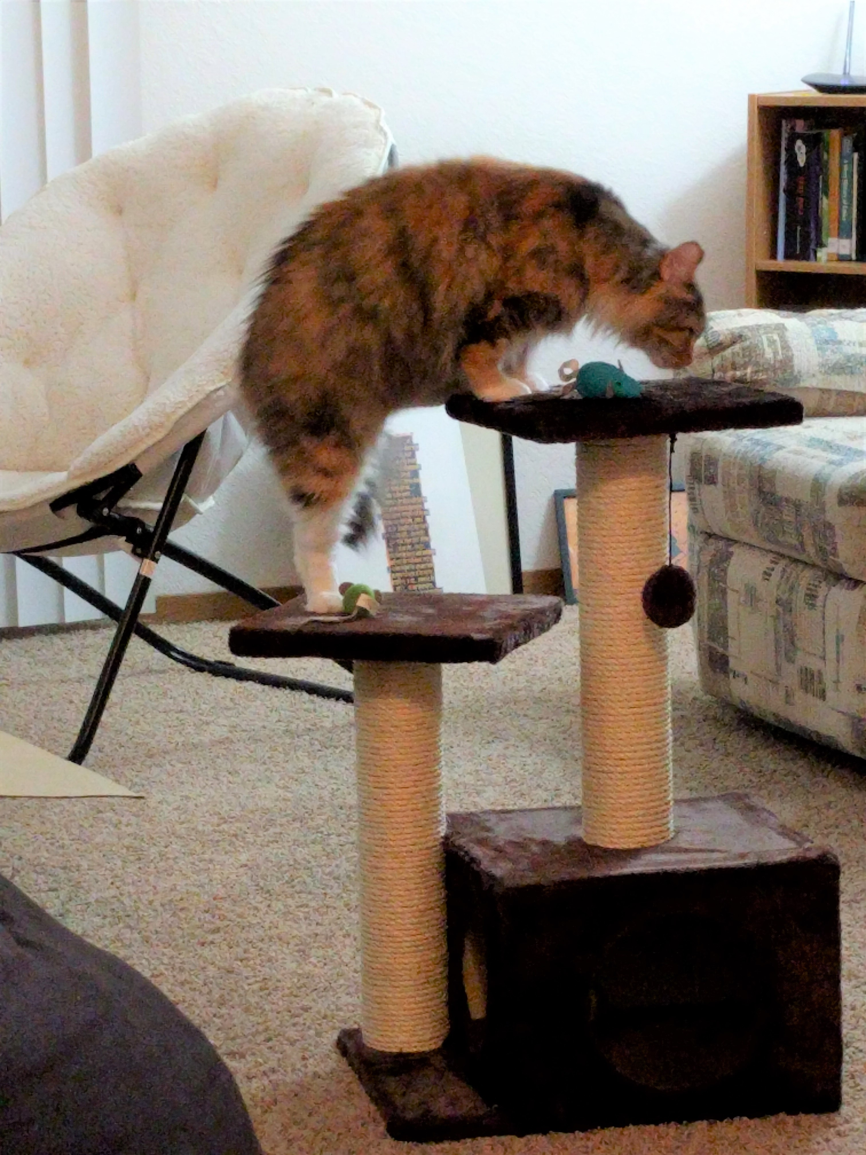 Tally with her hind quarters on one level of a cat tree, and her front paws on the top level