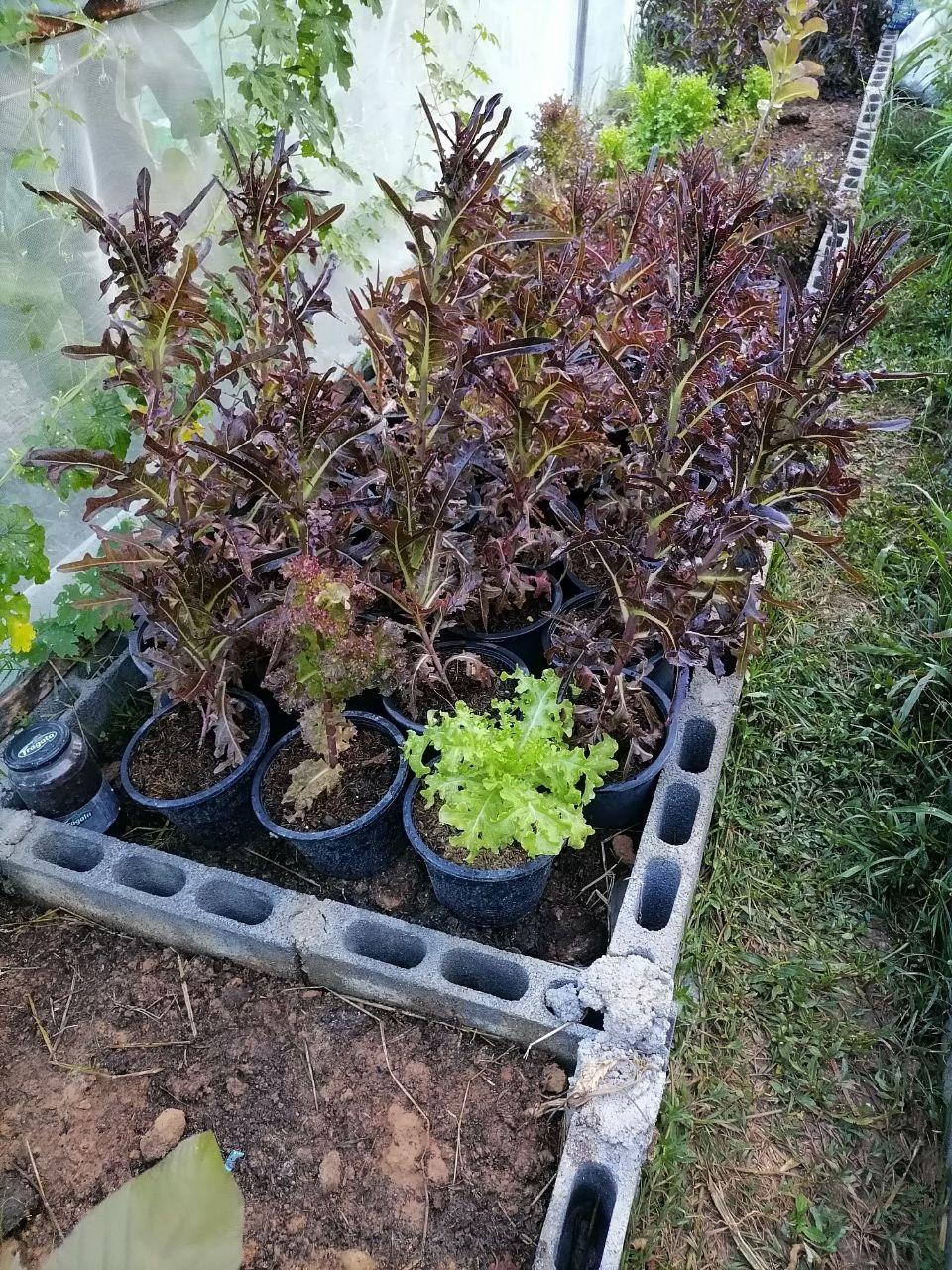 Red Oak Lettuce